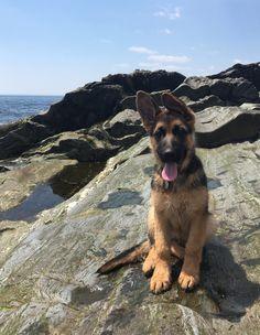 German shepherd puppy, at the ocean