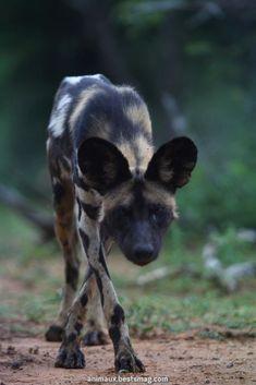 "funkysafari: "" African Wild Dog by Wildcaster "" Nature Animals, Animals And Pets, Baby Animals, Cute Animals, Wild Animals, African Hunting Dog, African Wild Dog, Mundo Animal, Wild Dogs"