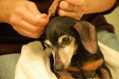 Cómo limpiar los oídos a un perro
