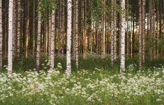 Photo by Satu Laaninen -15, birches