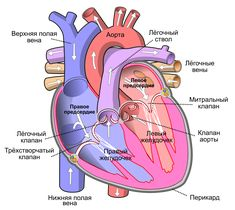 Heart, structure, function of the heart. How does the heart pump blood. Heart Valves Anatomy, Heart Anatomy, Heart Sounds, Human Heart Diagram, Diagram Of The Heart, Coronary Circulation, Heart Arteries, Heart Organ, Salud