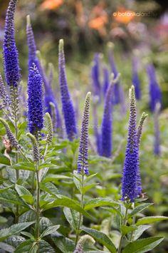 Macskafarkú veronika Veronica, Blue Flowers, Planting Flowers, Plants, Gardening, Google, Ferns, Flowers, Lawn And Garden