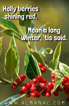 Holly berries shining red, Mean a long winter, 'tis said. More advice at http://www.almanac.com/fact/holly-berries-shining-red-mean-a-long