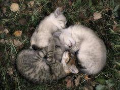 llbwwb:    Sweet Dreams and Cuddles Beautiful Friends:) (via Kitten Circle - photographer unknown - Pixdaus)
