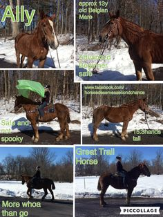 FOUND A NEW HOME  Ally Approx 13 year old Belgian Mare 15.3 hands tall Advanced beginner safe  More whoa than go  Great Trail a Horse Wonderful Trail Horse Safe and not spooky Nice Family Horse
