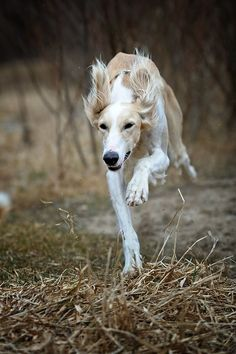 speed... by Alyat.  Saluki on the chase.- I think I will retire to sight hounds as I get older.