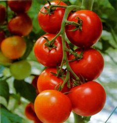 Germinación del tomate