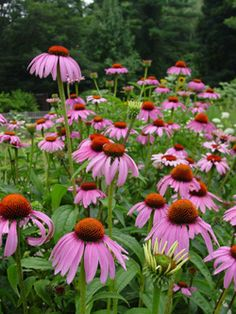 Purple Coneflower (Echinacea purpurea) Bloom Period: July-August Bloom Color: Pink Height: 2-3 ft Location: Sun-Part-sun Quick draining soil only (N-Bed 1)