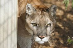 Dixie the Mountain Lion
