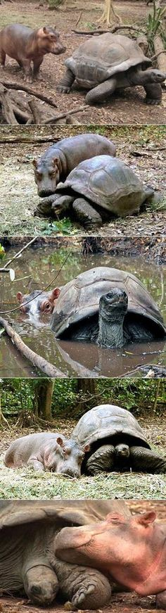 A baby hippo was swept away by a tsunami and rescued by a wild life reservation. A 130 year old tortoise immediately befriended him. - http://www.icantbelieveit.org/2013/06/strange-animal-friendships.html?utm_source=feedburner_medium=email_campaign=Feed%3A+icbiblog+%28I+Can%27t+Believe+It%29_content=Yahoo%21+Mail
