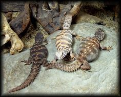 Deer Fern Farms Uromastyx Care Page Cute Reptiles, Reptiles And Amphibians, Lizards, Snakes, Uromastyx Lizard, Deer Fern, Lizard Types, Cool Pets, Ferns