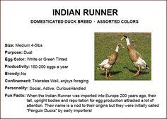 The Grange - Indian Runner Canard Coop, Duck Breeds, Raising Ducks, Broody, Chicken Breeds, Hobby Farms, Mallard, Urban Farming, Budgies