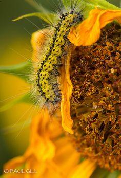 ˚Sunflower Caterpillar