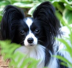 Papillon- From Wiki- from France, 'Papllon' French for butterfly for long fringed ears, SOCIALIZE, TRAIN EARLY, can be aggressive toward people and other dogs, reserved around strangers, playful, affectionate, companion, energetic, happy sleeping in human's arms, lots of exercise, sensitive to heat and cold, like job to do, compete in agility, obedience, colors white with patches of color, single coat, weigh 7 - 10 lbs, live up to 17 years.