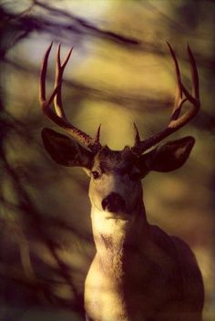 Canada, Rocky Mountains, Mule Deer Close-Up Front View (Odocoileus Hemionus) A52C Poster Print (12 x 19)