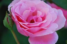 Rosa Rose mit Knospe Rosa Rose, Flowers, Plants, Bud, Floral, Plant, Royal Icing Flowers, Florals, Flower
