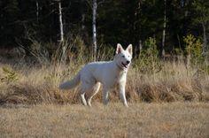white shepherd in the nature