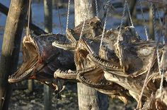 Northern Norway images  Dried fish heads make good fertilizer,  Look at them teeth