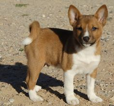 Basenji - little to no shedding, minimal dander, great for people with allergies