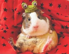 A chubby guinea pig sitting in an upright position with a knit frog hat on its head.
