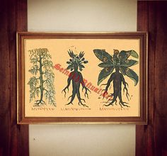 214 Mandrake Print Witch Plant Illustration Mandragora Poster Occult Print Witch