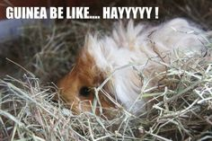 guinea be like...