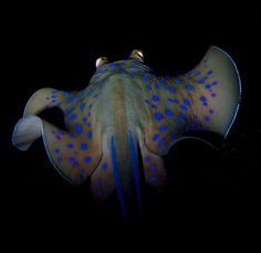 Blue spotted stingray By: Marty Engels Dunmore