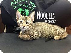 Noodles - URGENT -  Alvin Animal Adoption Center in Alvin, Texas - ADOPT OR FOSTER - Neutered Male KITTEN Domestic SH