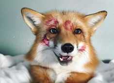 Juniper the fox is your new Instagram obsession... wait until you see why!