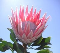 Points You Should Know Prior To Obtaining Bouquets Pink King Protea Flower. Cosmos Plant, Cosmos Flowers, Exotic Flowers, Amazing Flowers, Wild Flowers, Beautiful Flowers, King Protea, Protea Flower, Chinese Flowers