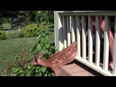 Deer Fawn Rescue in Chester County, Pa