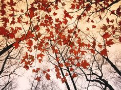 Red Maple and Autumn Sky Art Print at AllPosters.com