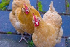 Buff Orpington Pet Chickens