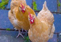 Buff Orpington Pet Chickens