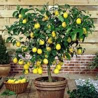 A tub of cumquats or dwarf lemons is an extraordinary feature for your swimming pool area, adding a lot of character to the area. Which plants do you have around your pool or spa?