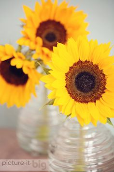 Sunflowers in glass vases www.picture-it-big.co.uk #sunflowers #flowerphotography Available to buy on Etsy https://www.etsy.com/uk/listing/194801319/sunflowers-in-glass-vases-photographic?ref=listing-shop-header-3