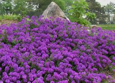 Moss Verbena may end up being your favorite groundcover. It grows between 6 to 12 inches tall, but has a spreading capability of up to 5 feet. It's easy to grow, is drought and heat tolerant, attracts butterflies and comes in blue, purple and white flowers.