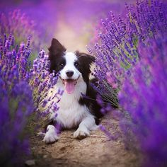 "3,701 Likes, 85 Comments - Alicja Zmysłowska (@alicjazmyslowska) on Instagram: ""Memories of summer! Baszka in lavender field 💙❤ #bordercolliesofinstagram #dogphotography #lavender…"""