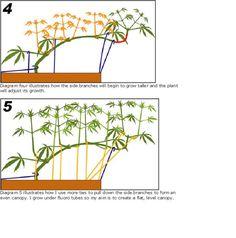 An Overview of Cannabis Training (ScrOG, SoG, FIM, Supercrop, LST, etc.) - Marijuana Cultivation - Growery Message Board