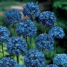 Azure Allium Sensational blue spheres. Hundreds of flax blue florets form perfect spheres 3-4 in. across. Blooms in early summer on imposing 18- to 22-in. stems. Lasts for weeks in the garden or vase. Grows anywhere in shade or sun! 4-5 cm bulbs. Zones 3-9. Not available in ID.