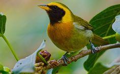 Foto saíra-de-papo-preto (Hemithraupis guira) por Renerio Almeida | Wiki Aves - A Enciclopédia das Aves do Brasil