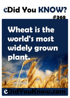 http://edidyouknow.com/did-you-know-368/ Wheat is the world's most widely grown plant.