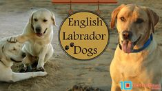 The English Lab Stands Out As One Among-st The Fantastic Breeds Of Dogs That Exist Worldwide. Check Out Every Facts About English Labrador - Sizes/Weight, Temperament, Life Span, Health Issues, Differences Between English & American Lab, Puppy Price & Breeders & How to Train a Labrador Retriever!