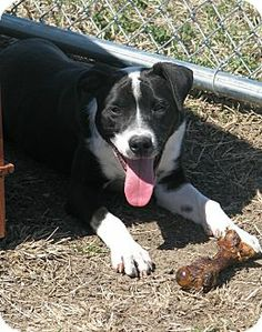 Gone  Urgent Please Save West Memphis, AR - Hound (Unknown Type)/Labrador Retriever Mix. Meet Hammer a Puppy for Adoption.