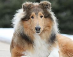 Collie Dog. Look at the pretty baby!