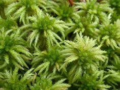 Sphagnum squarrosum Moss