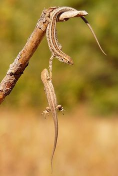 In this amazing moment, a lizard springs into action to grab his cohort by the arm and save him from falling off their perch