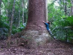 Bull Kauri (Agathis microstachya) tree grows up to about 50 m (160 ft) in height and 2.7 m (8 ft 10 in) in diameter. It has a very restricted distribution, being almost limited to the Atherton Tableland in Far North Queensland, with its elevational range 400–900 m above sea level > http://en.wikipedia.org/wiki/Agathis_microstachya