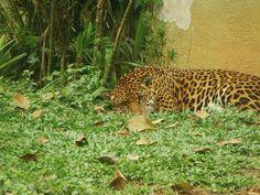 Onça - Zoológico de São Paulo - photo by Renato Aguiar