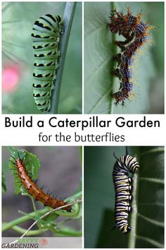butterfly garden Build a caterpillar garden to see more butterflies living in your landscape. Learn which host plants are necessary for each different butterfly species and where to plant these butterfly host plants in your garden. Slugs In Garden, Garden Insects, Garden Pests, Garden Fertilizers, Garden Bugs, Easy Garden, Balcony Garden, Butterfly Garden Plants, Flowers Garden